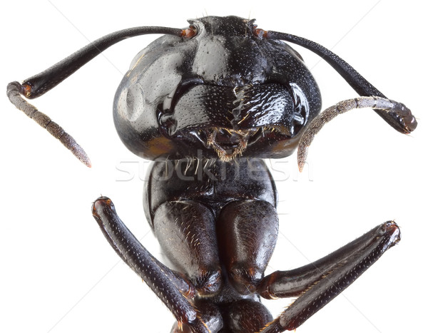 Black Garden Ant Cutout Stock photo © Suljo