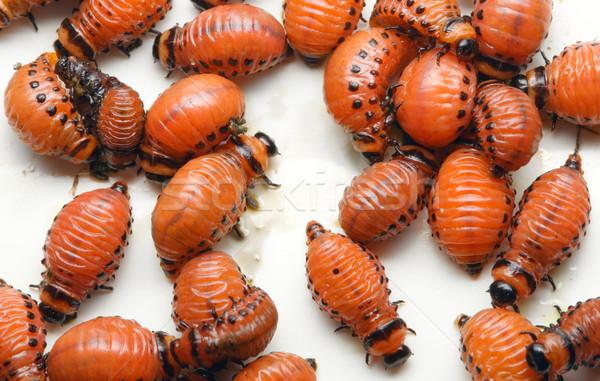 Potato Beetle Larva Stock photo © Suljo