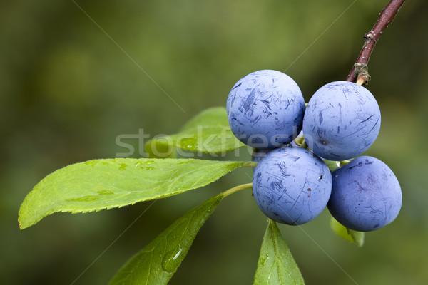 Prunus Spinosa Stock photo © Suljo
