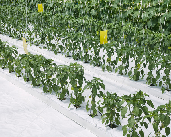 Binnenkant paprika komkommer industrie boerderij plant Stockfoto © Suljo