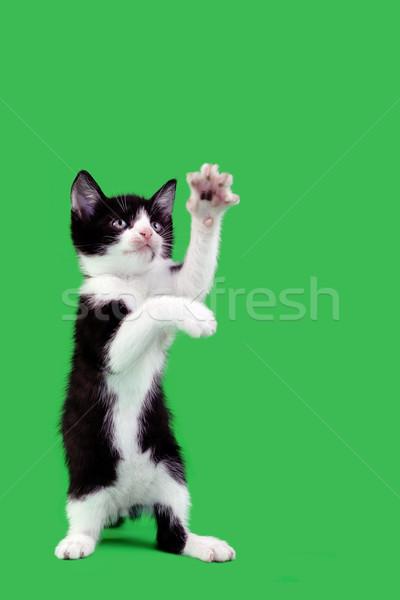 Juguetón gato doméstico aislado verde gato Foto stock © Suljo
