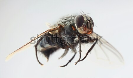 HouseFly Magnification Stock photo © Suljo