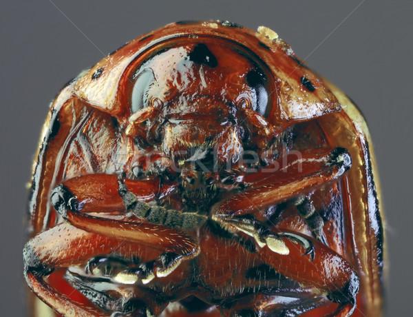 Colorado Beetle Macro `Cutout Stock photo © Suljo