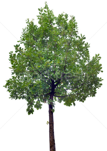 Stock photo: Oak Tree Cutout
