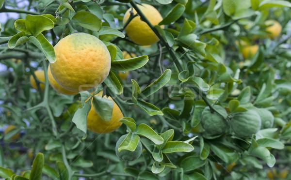 Citrus Trifoliata Fruit Tree Stock photo © Suljo