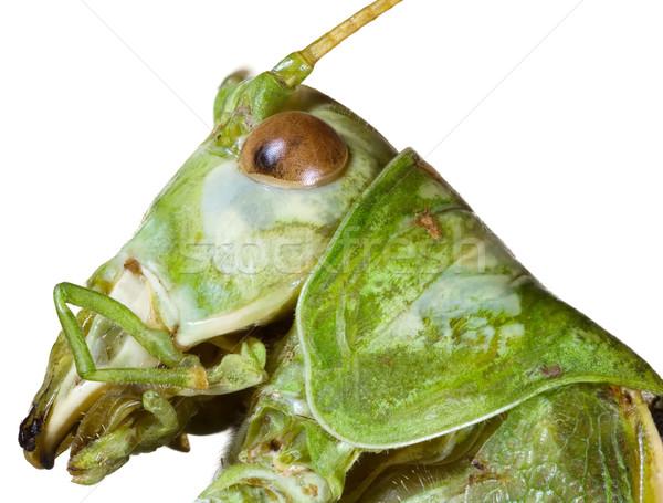 Locust Head Cutout Stock photo © Suljo