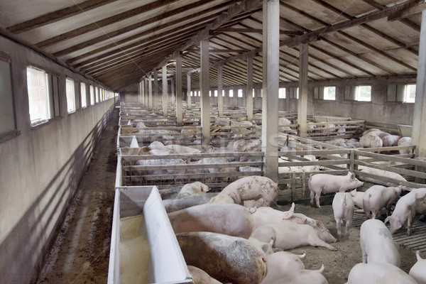 Pig Farm Stock photo © Suljo