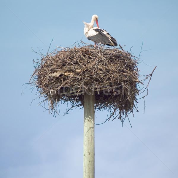 Stork in the nest Stock photo © Suljo