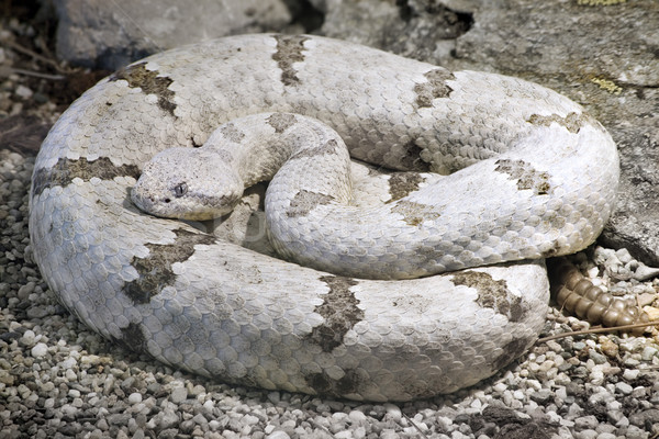 Tamaulipan Rock Rattlesnake Stock photo © Suljo