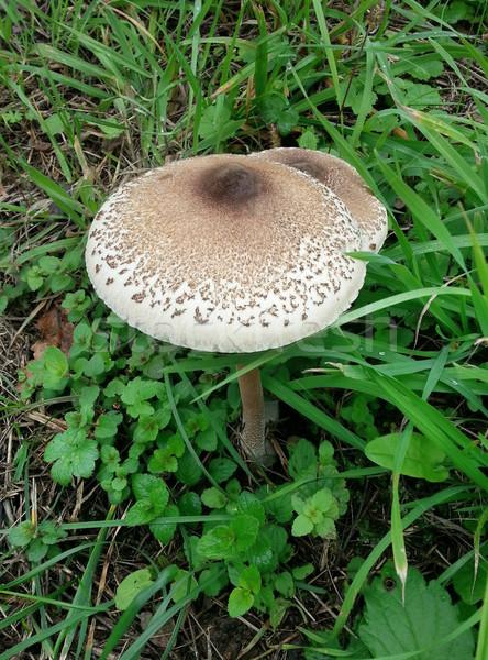 Parasol Mushroom Stock photo © Suljo