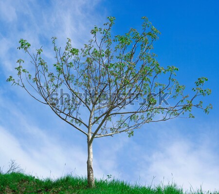 Ceviz ağaç geç kış yalnız büyüme Stok fotoğraf © Suljo