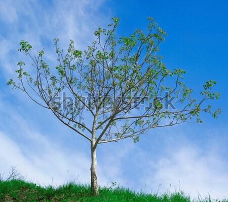 Walnut Tree Pollination Stock photo © Suljo
