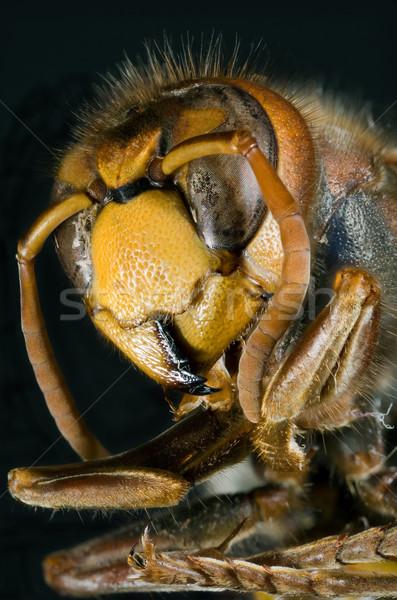 Avrupa makro vücut siyah hayvan sarı Stok fotoğraf © Suljo
