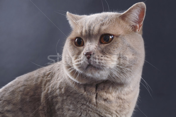 Britisch kurze Haare Katze reinrassig Haar beobachten Stock foto © Suljo