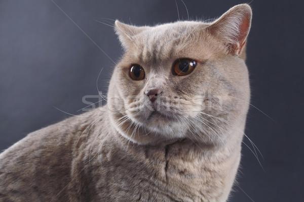 Brit rövid haj macska fajtiszta haj néz Stock fotó © Suljo