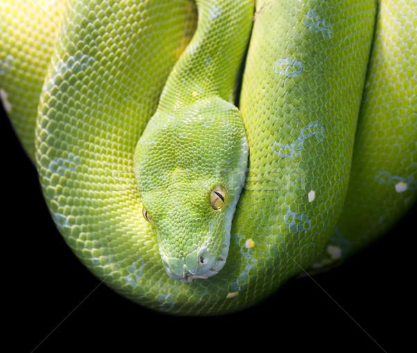 Píton verde cabeça tropical animal Foto stock © Suljo