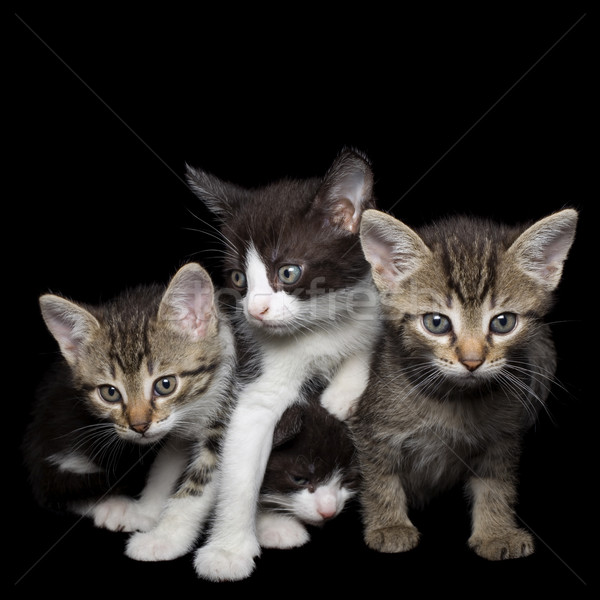 Four Young Cats Stock photo © Suljo