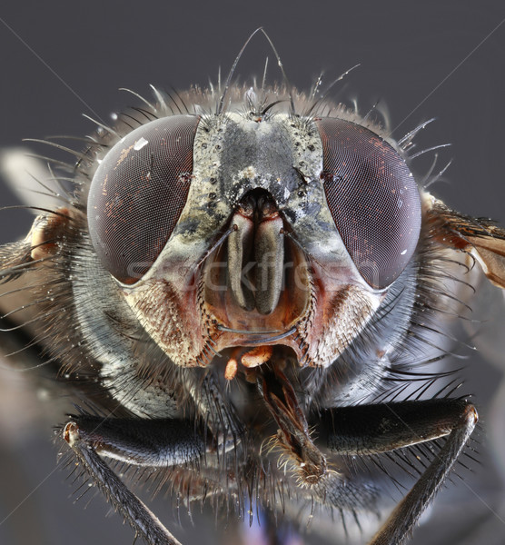 Housefly Macro Stock photo © Suljo