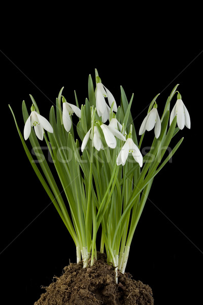 Snowdrop flowers Cut Out Stock photo © Suljo