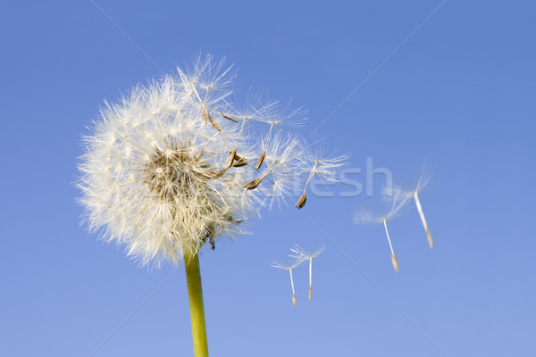 Dandelion seeds Stock photo © Suljo