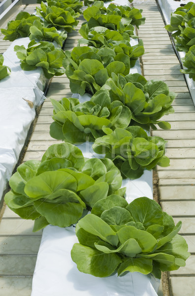 Lettuce Hydroponics Stock photo © Suljo