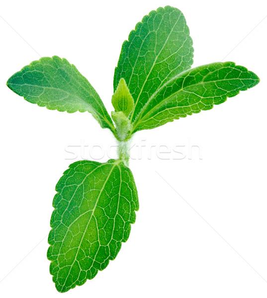 Stevia rebaudiana plant Stock photo © Suljo