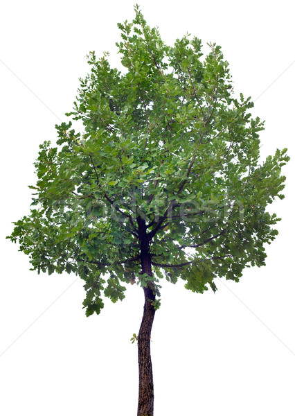 Oak Tree Cutout Stock photo © Suljo