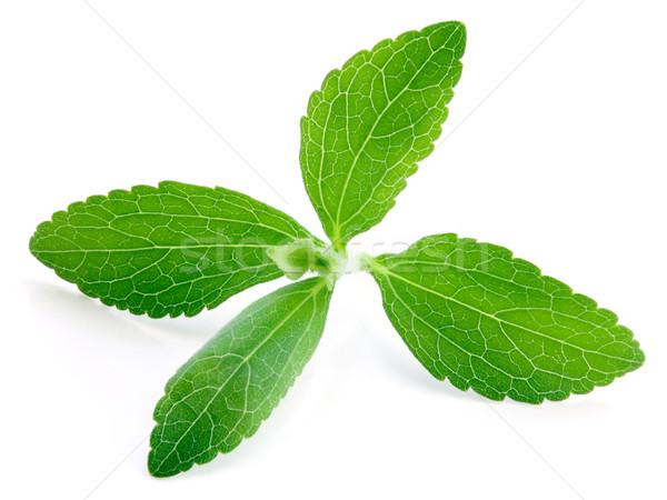 Stevia Plant Stock photo © Suljo
