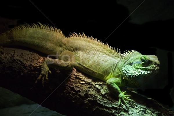 Groene leguaan donkere hagedis scary schalen Stockfoto © Suljo