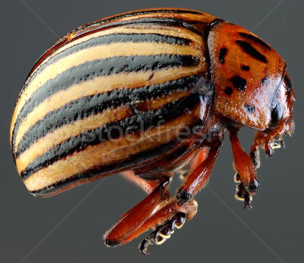 Colorado Beetle Macro Cutout Stock photo © Suljo