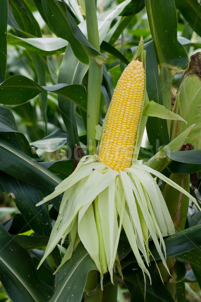 Sweet corn ready to harvest Stock photo © sundaemorning