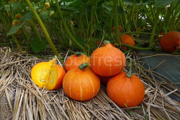 Pomarańczowy miąższ dziedzinie żywności rolnictwa Zdjęcia stock © sundaemorning