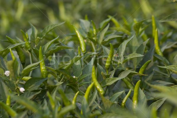 Hot pepper crop Stock photo © sundaemorning