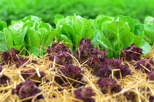 Saláta mező levél kert zöld mezőgazdaság Stock fotó © sundaemorning