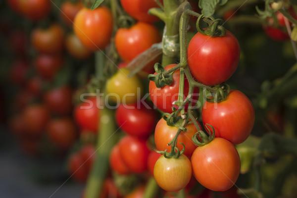 Fresh tomato Stock photo © sundaemorning