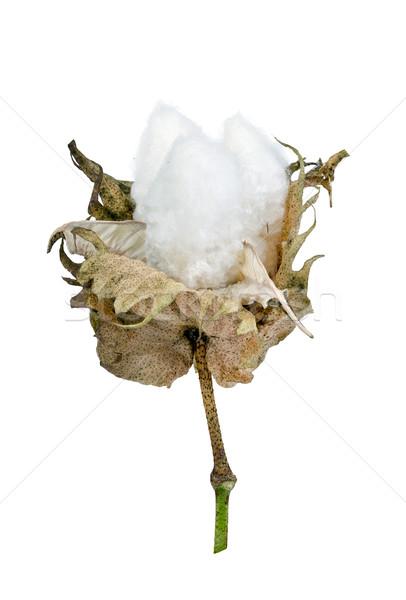 cotton - Gossypium hirsutum L. isolated on white Stock photo © supersaiyan3