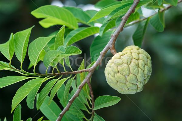 カスタード リンゴの木 庭園 ツリー 自然 葉 ストックフォト © supersaiyan3