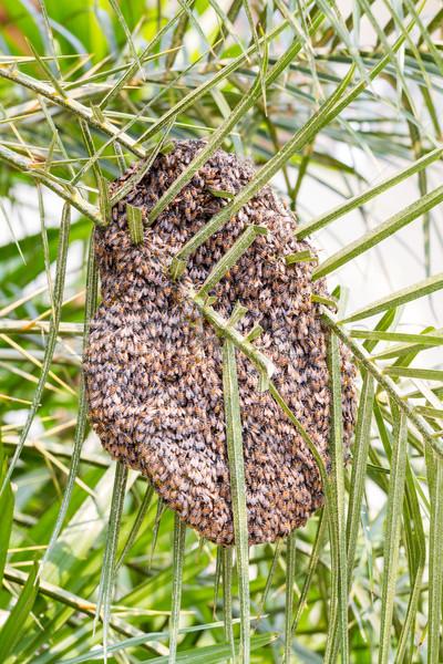 Bijenkorf boom blad palmboom gezondheid achtergrond Stockfoto © supersaiyan3