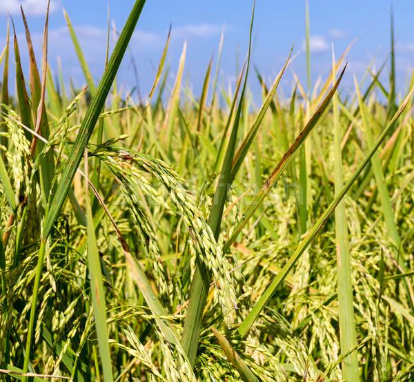 Rijstveld blauwe hemel Thailand landbouw industrie hemel Stockfoto © supersaiyan3