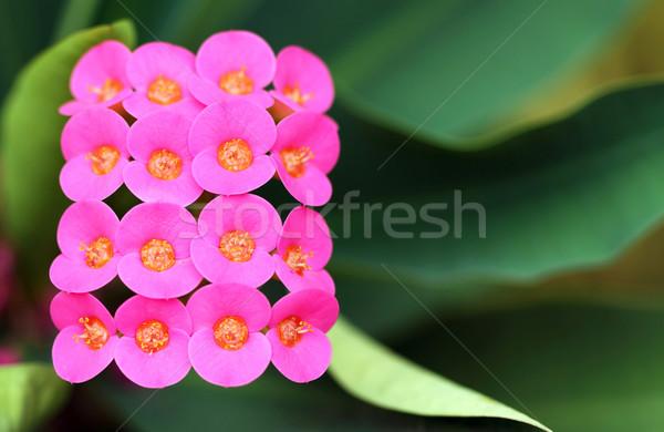 Közelkép minta virág zöld rózsaszín makró Stock fotó © supersaiyan3