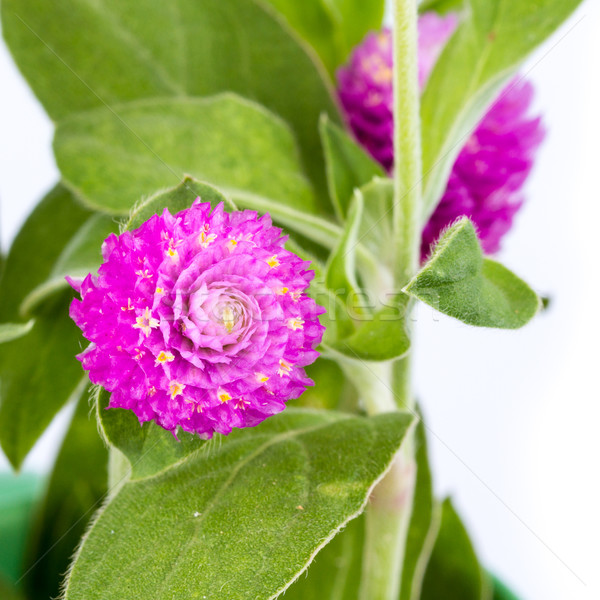 красивой Purple цветы цветок трава природы Сток-фото © supersaiyan3