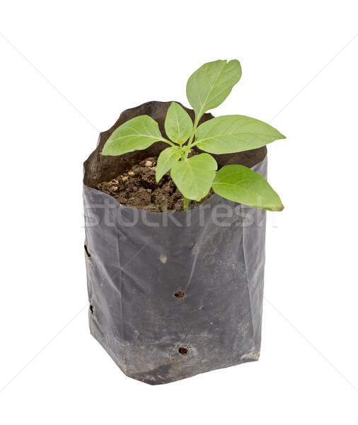 Seedling in black plastic pot isolated on white Stock photo © supersaiyan3