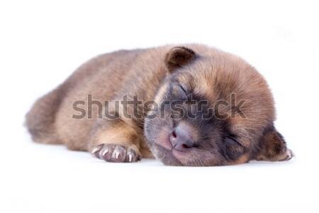 Slapen puppy bruin witte baby dieren Stockfoto © supersaiyan3