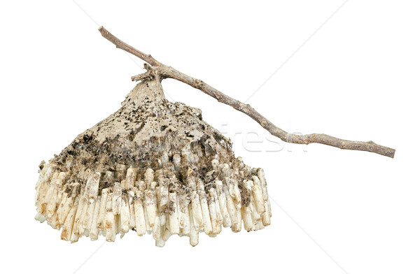 Hornet's nest with twig isolated on white Stock photo © supersaiyan3