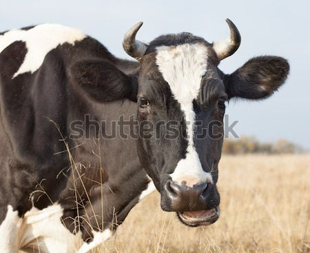 Cow close up Stock photo © Supertrooper