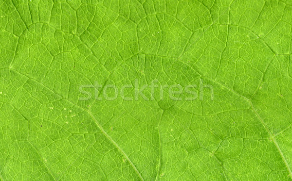 Leaf veins close up Stock photo © Supertrooper