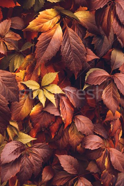 Autumn Virginia Creeper Stock photo © Supertrooper