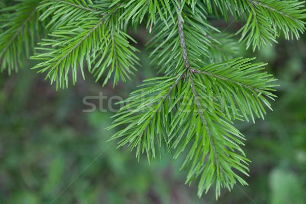 Evergreens Stock photo © Supertrooper