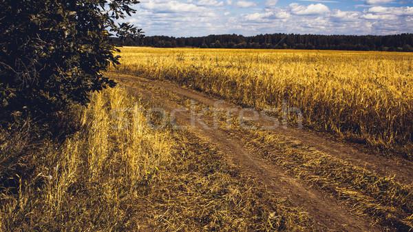 Golden Wheat Field Stock photo © Supertrooper