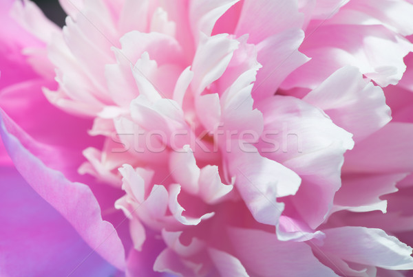 Closeup Of Pink Peony Stock photo © Supertrooper
